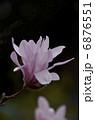 姫コブシ コブシ 花の写真 6876551
