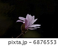 姫コブシ コブシ 花の写真 6876553