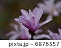 姫コブシ コブシ 花の写真 6876557