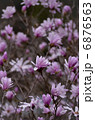 姫コブシ コブシ 花の写真 6876563