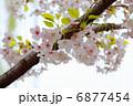 オオシマザクラ 大島桜 花の写真 6877454