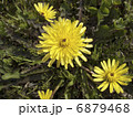 蒲公英 植物 花の写真 6879468