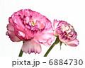 赤紫の花びらの重なりが美しいラナンキュラス 6884730