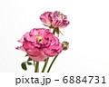 赤紫の花びらの重なりが美しいラナンキュラス 6884731