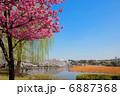 陽光桜 桜 サクラの写真 6887368