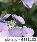 ハイドランジア アジサイ ガクアジサイの写真 6888102
