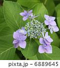 ハイドランジア 花 ガクアジサイの写真 6889645