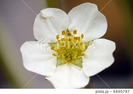 イチゴの花 おしべとめしべ 6890797