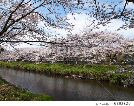 写真素材: 那賀川のソメイヨシノ