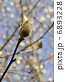 白蓮 マグノリア ハクモクレンの写真 6893228