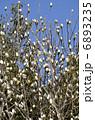 白蓮 マグノリア ハクモクレンの写真 6893235
