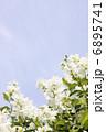 リキュウバイ 利休梅 花の写真 6895741