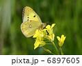 菜の花とモンキチョウ 6897605