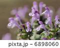 ホトケノザ サンガイグサ 花の写真 6898060