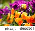 ビオラ 寄せ植え 花の写真 6900304