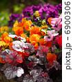 ビオラ 寄せ植え 花の写真 6900306
