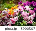 ビオラ 寄せ植え 花の写真 6900307