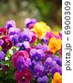 寄せ植え ビオラ 花の写真 6900309