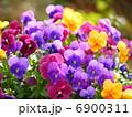 寄せ植え ビオラ 花の写真 6900311