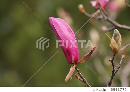 膨らんだ蕾のシモクレン(紫木蓮) 6911772