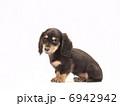 子犬 ペット ミニチュアダックスの写真 6942942