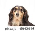 ペット ミニチュアダックス 動物の写真 6942946