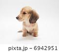 子犬 ペット ミニチュアダックスの写真 6942951