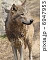 狼 シンリンオオカミ 陸上動物の写真 6947953