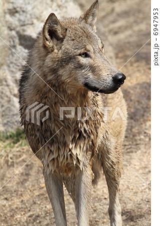 シンリンオオカミ 6947953