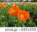 アイスランドポピー 虞美人草 雛芥子の写真 6951555