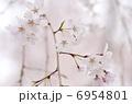 さくら 花 桜の写真 6954801