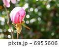 マグノリア ヒメコブシ 姫コブシの写真 6955606