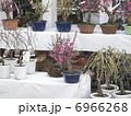 盆栽 梅 植物の写真 6966268
