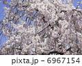 枝垂れ桜 6967154