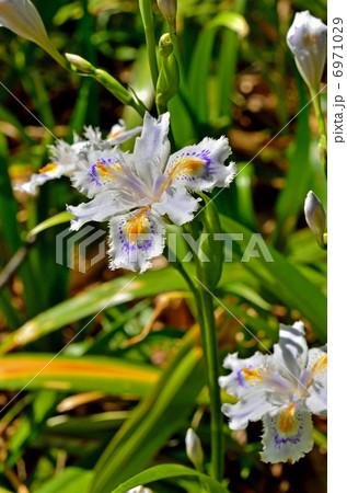 植物・シャガ アヤメ科 6971029