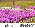 芝桜 草花 花の写真 6996990