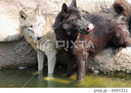 シンリンオオカミ 6997221