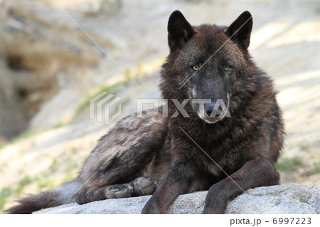 シンリンオオカミ 6997223