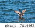 オナガガモ 野鳥 羽ばたきの写真 7014462