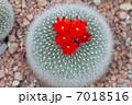 玉サボテン 花 サボテンの写真 7018516