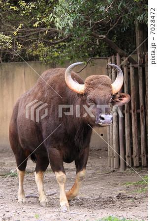 世界最大級の野生牛・ガウル 7028472