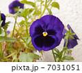 パンジー 7031051