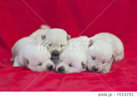 紀州犬の仔犬 7033291