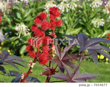 リシン トウゴマ ひまし油 有毒植物 猛毒 7054677