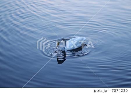 湖の白鳥 7074239