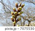 後2~3日で開花するカワヅザクラの蕾 7075530