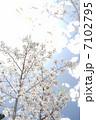 桜と陽の光 7102795