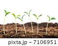 双葉 芽生え 新芽の写真 7106951