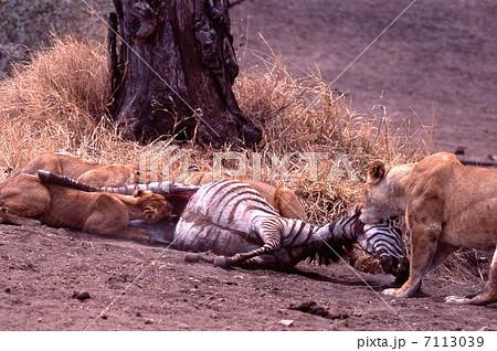 仕留めたシマウマを食べるライオン家族 7113039