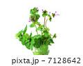 野の花・グラスの中にホトケノザとヒメオドリコソウの似ている花の姿・白バック横位置 7128642